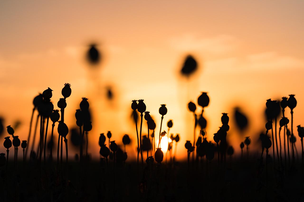 Картинки силуэта Природа мак рассвет и закат Силуэт силуэты Маки Рассветы и закаты