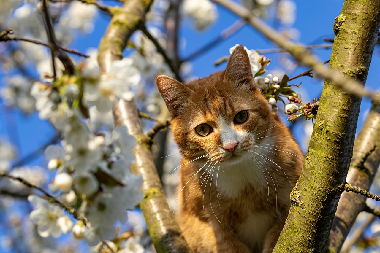 Фотографии кот рыжая Усы Вибриссы Ветки Взгляд Животные коты кошка Кошки Рыжий рыжие ветвь ветка на ветке смотрит смотрят животное