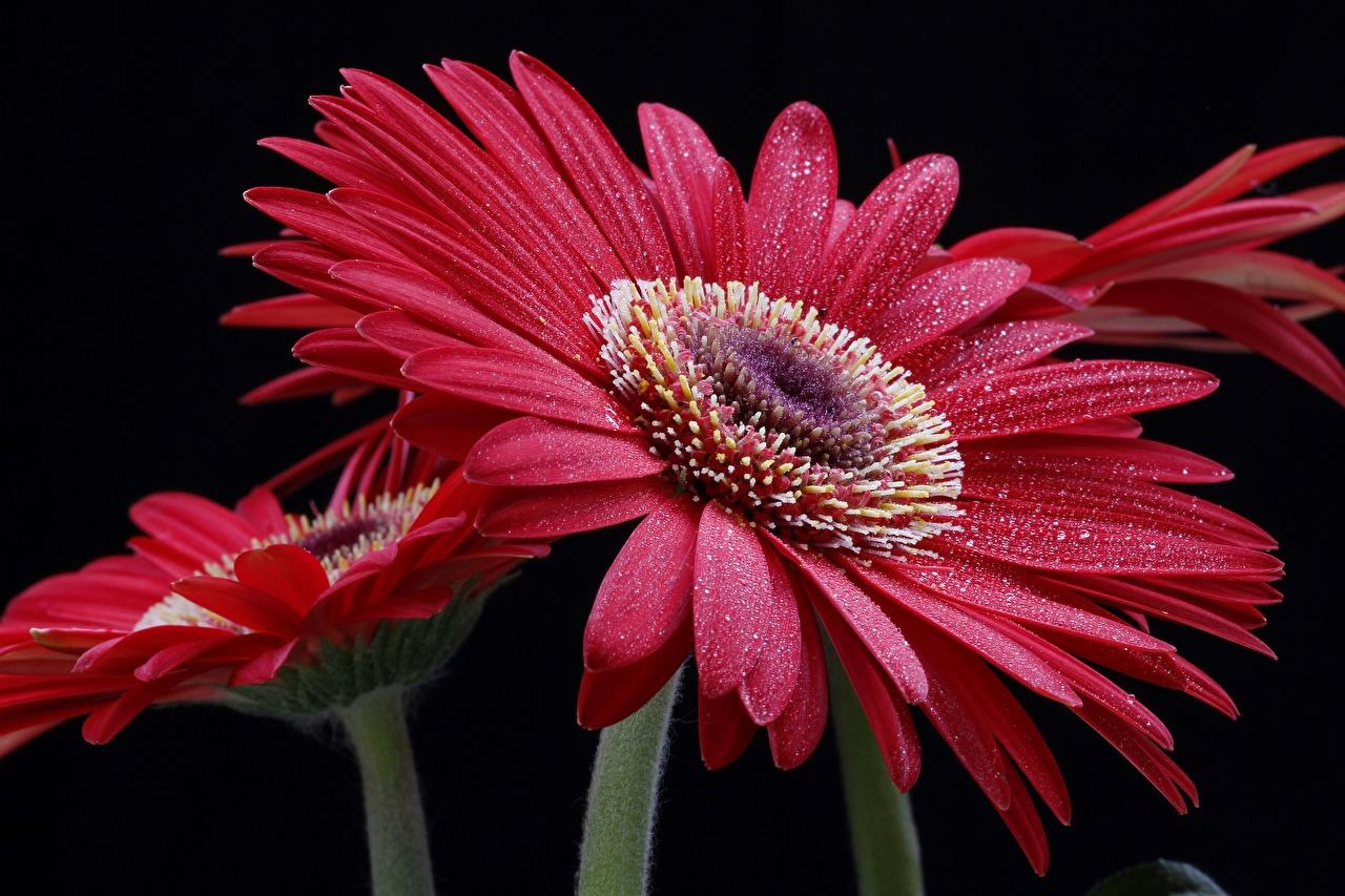 Картинки гербера Капли цветок на черном фоне Крупным планом Герберы капля Цветы капель капельки вблизи Черный фон