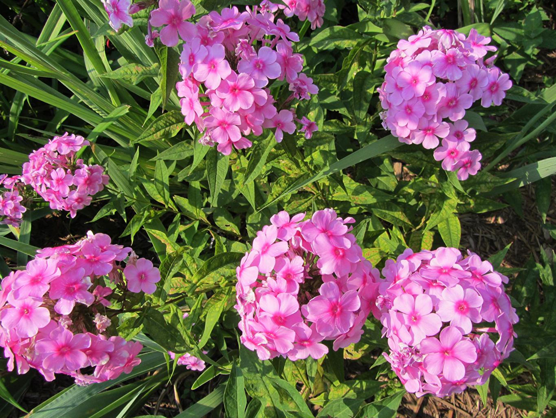 Фотография розовая Цветы Флоксы Розовый розовые розовых цветок