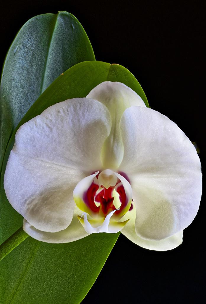 Картинка белая Орхидеи Цветы Черный фон Крупным планом  для мобильного телефона белые Белый белых орхидея цветок вблизи на черном фоне