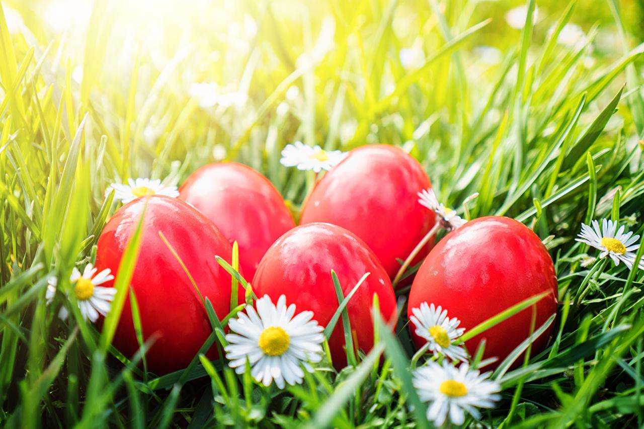 Фотографии Пасха яиц красных Ромашки яйцо Яйца яйцами Красный красные красная ромашка
