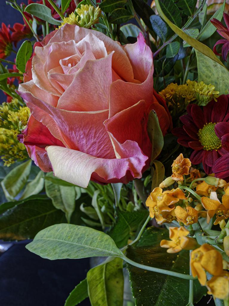 Фотографии Розы Цветы вблизи  для мобильного телефона роза цветок Крупным планом
