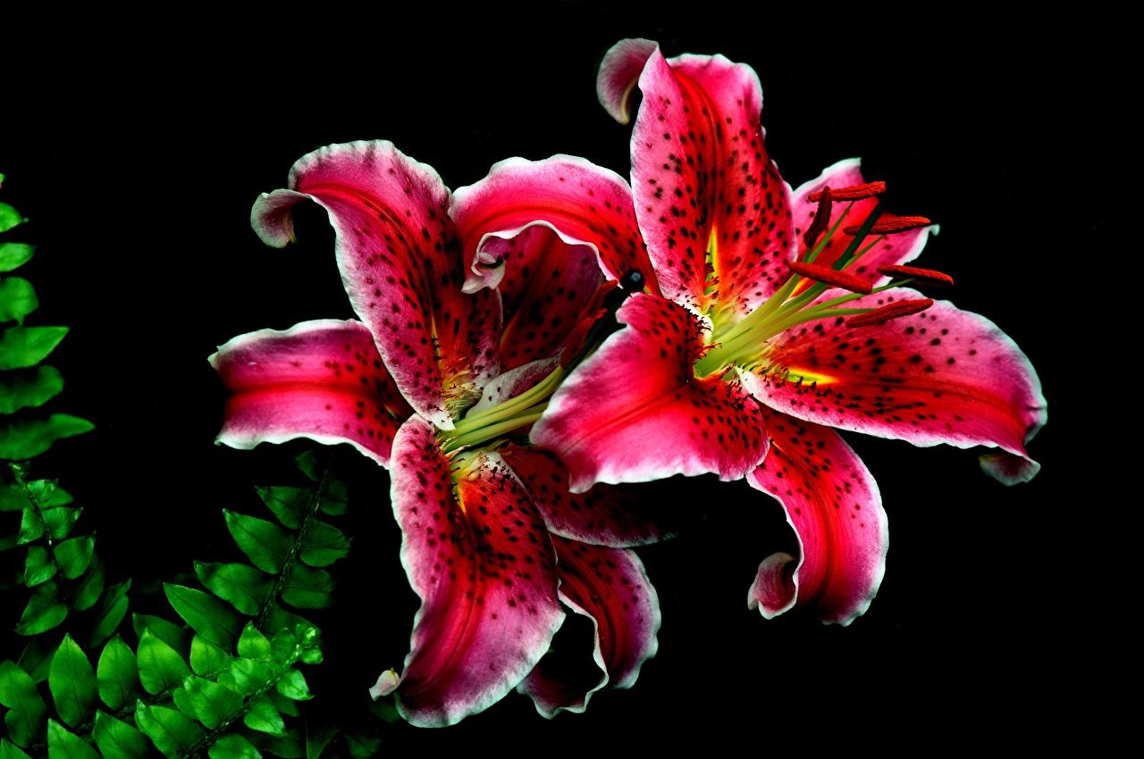 Фото лилия красная цветок на черном фоне Крупным планом Лилии красных Красный красные Цветы вблизи Черный фон