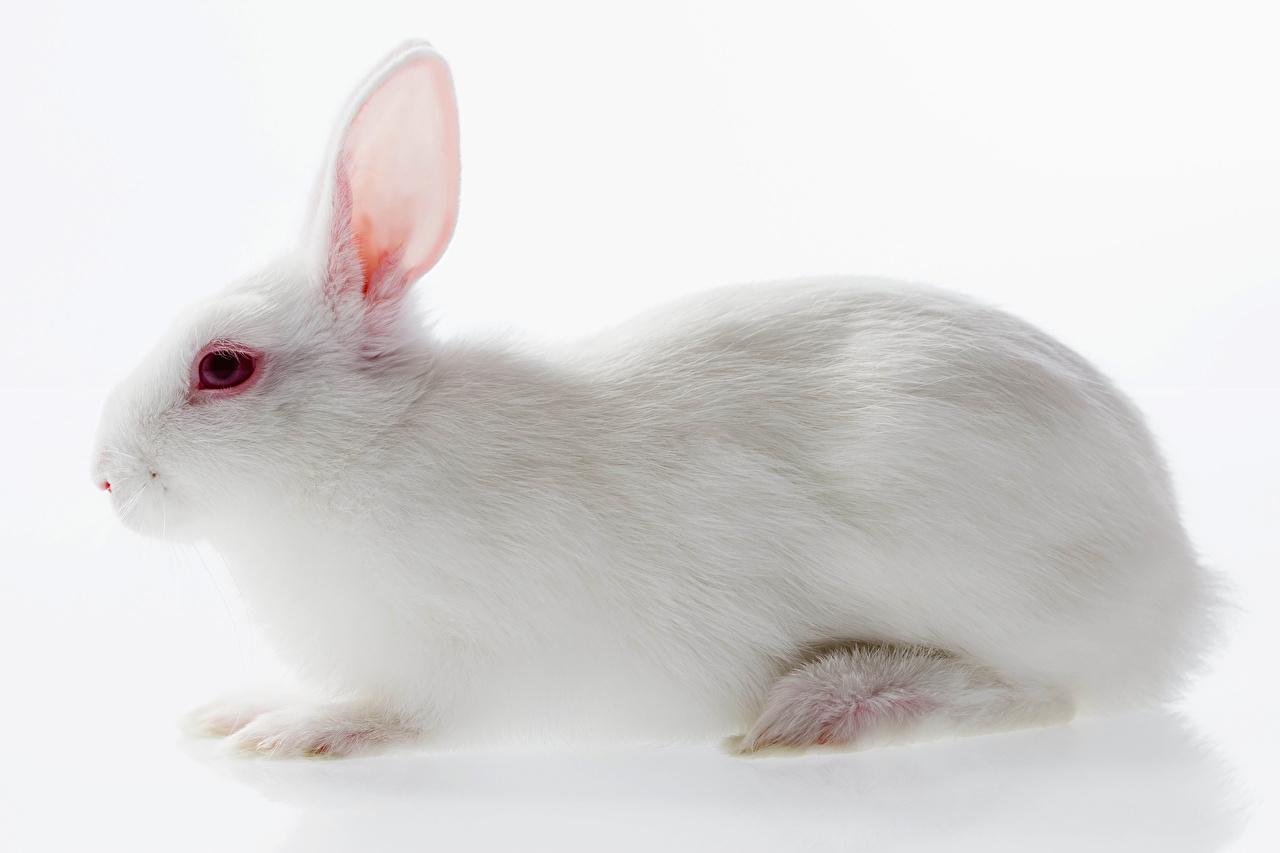 Картинки Кролики белые Еда Сбоку белом фоне белых Белый белая Пища Продукты питания Белый фон белым фоном