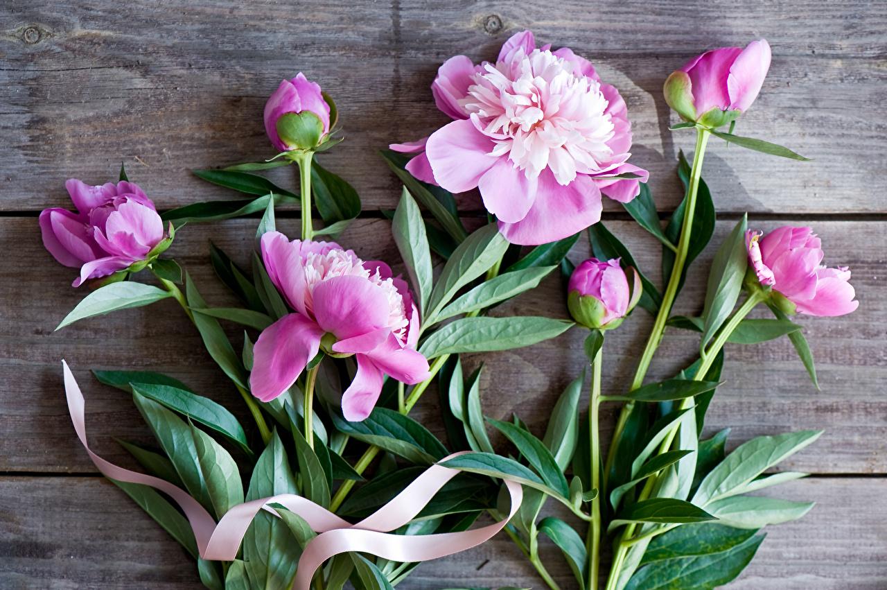 Картинка розовые пион цветок Бутон розовая Розовый розовых Пионы Цветы