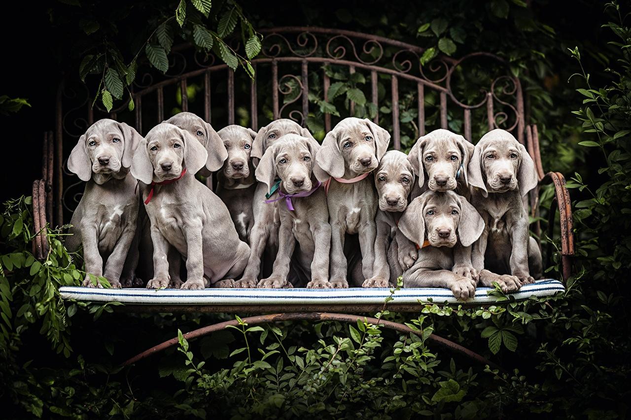 Обои для рабочего стола щенков веймарская легавая собака Серый Много животное щенки Щенок щенка Веймаранер Собаки серая серые Животные