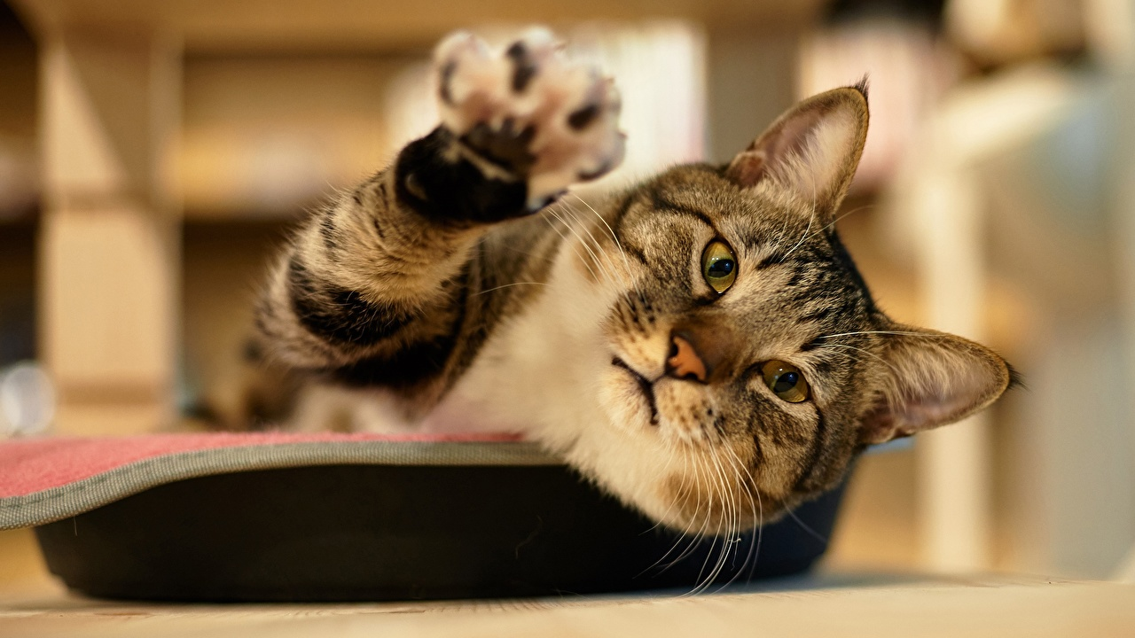 Обои для рабочего стола кошка лап Взгляд Животные кот коты Кошки Лапы смотрит смотрят животное