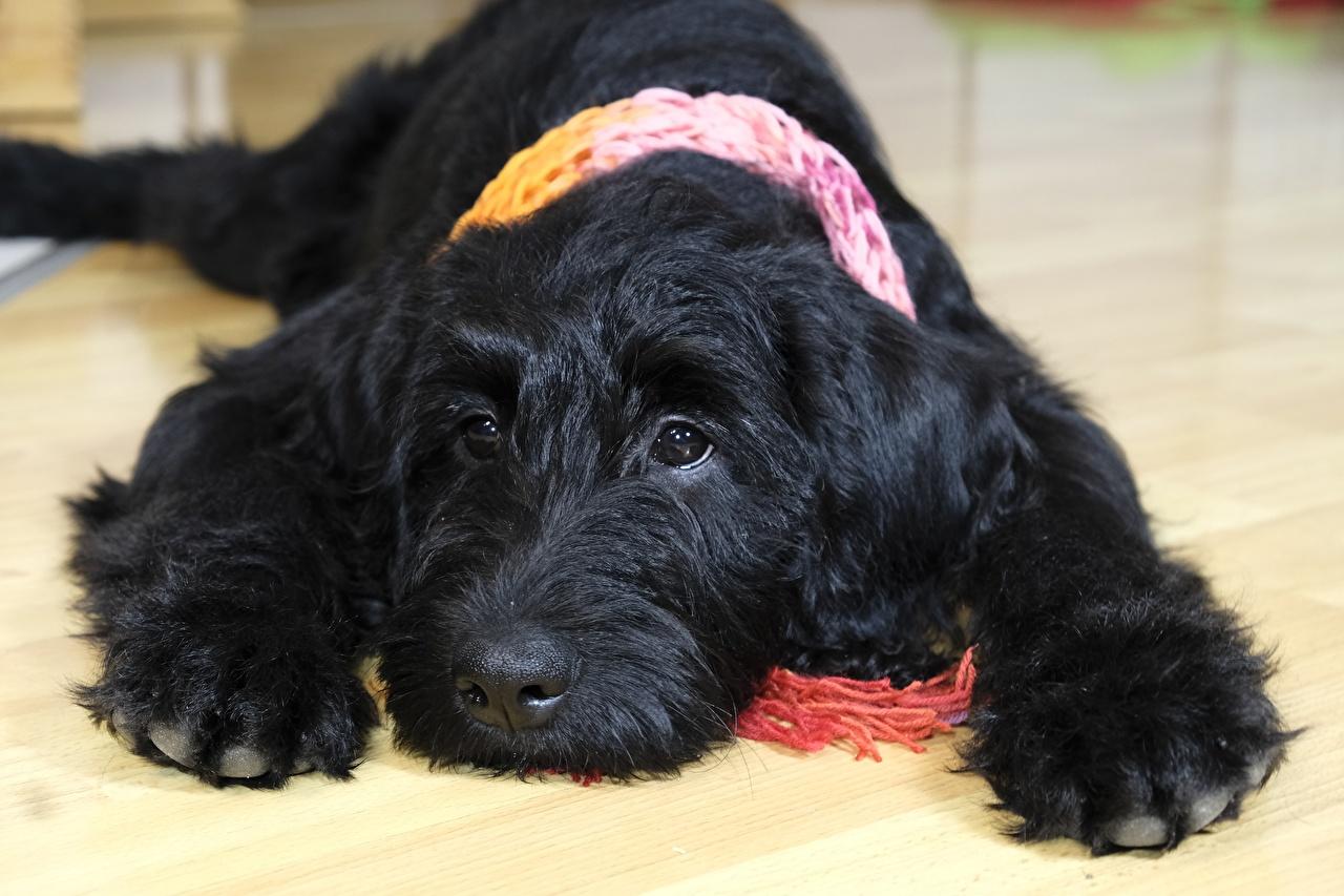 Обои Щенок Собаки Labrador Черный Лапы Взгляд Животные смотрит