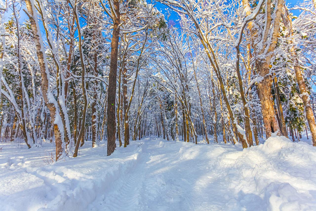 Картинки Россия Yuzhno-Sakhalinsk Зима Природа Леса Снег Деревья зимние лес снега снегу снеге дерево дерева деревьев