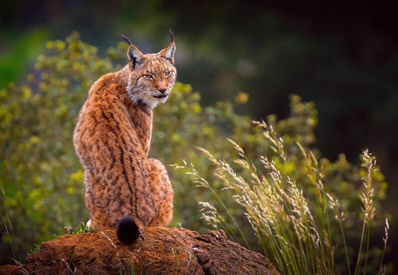 Фотографии Рыси Спина Сидит Сзади животное рысь спины сидя сидящие вид сзади Животные