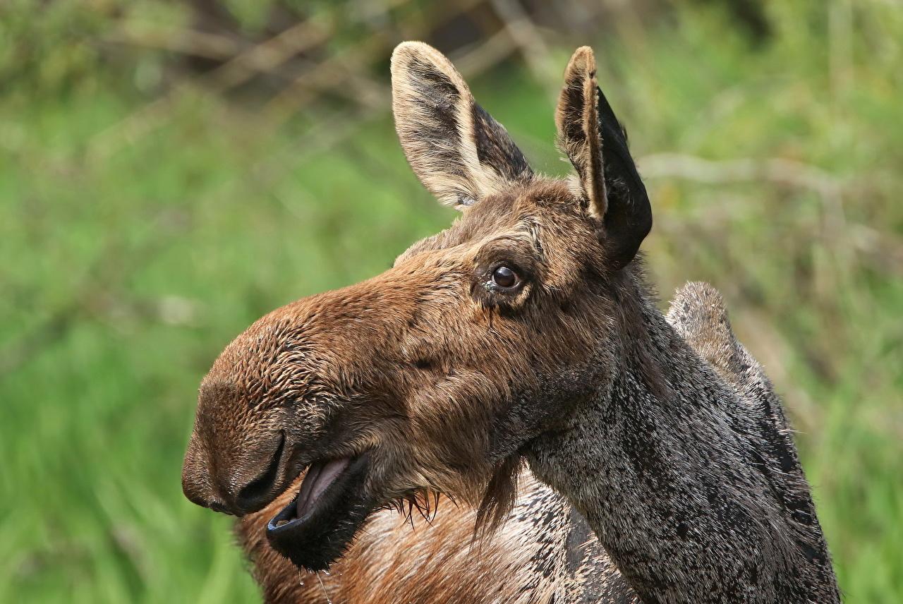 Фотографии Лоси морды Голова Животные Морда головы животное