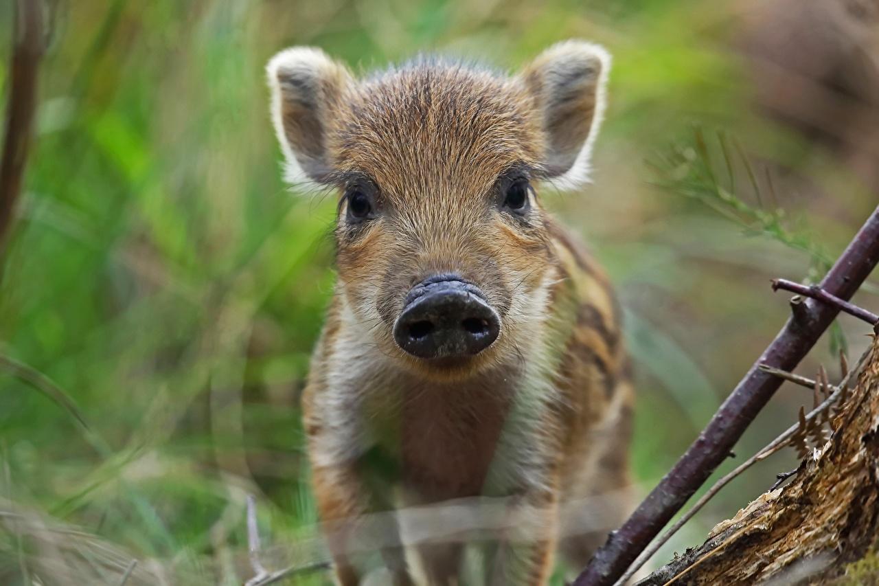 Обои для рабочего стола Кабан Детеныши морды Животные дикая свинья Морда животное