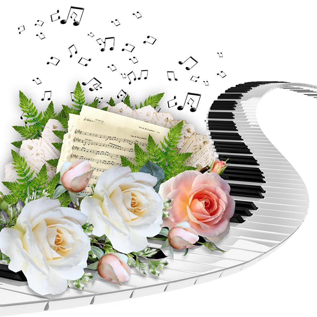 Фотография Ноты клавиши Розы на ветке белым фоном роза ветвь ветка Ветки Белый фон белом фоне