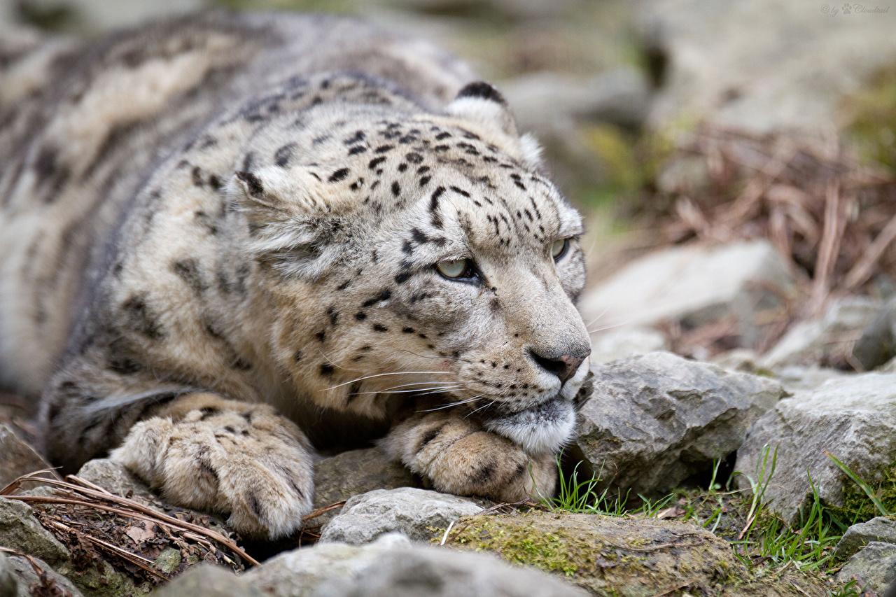 Фотография Ирбис Большие кошки Камни смотрит Животные Барсы Камень Взгляд смотрят животное