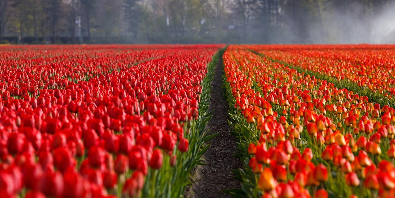 Фото Красный мак Поля Цветы Много красная красные красных Маки цветок