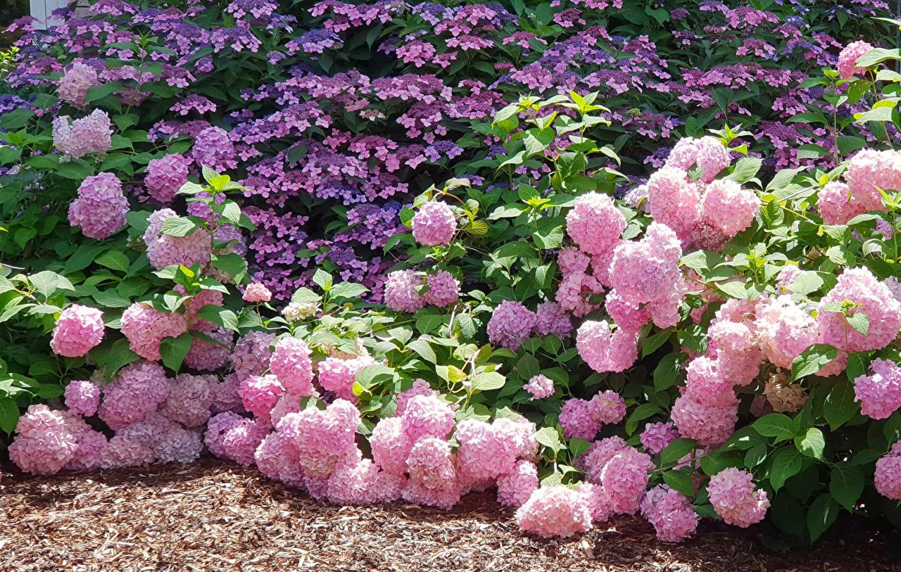 Фотографии розовых цветок Гортензия Розовый розовые розовая Цветы