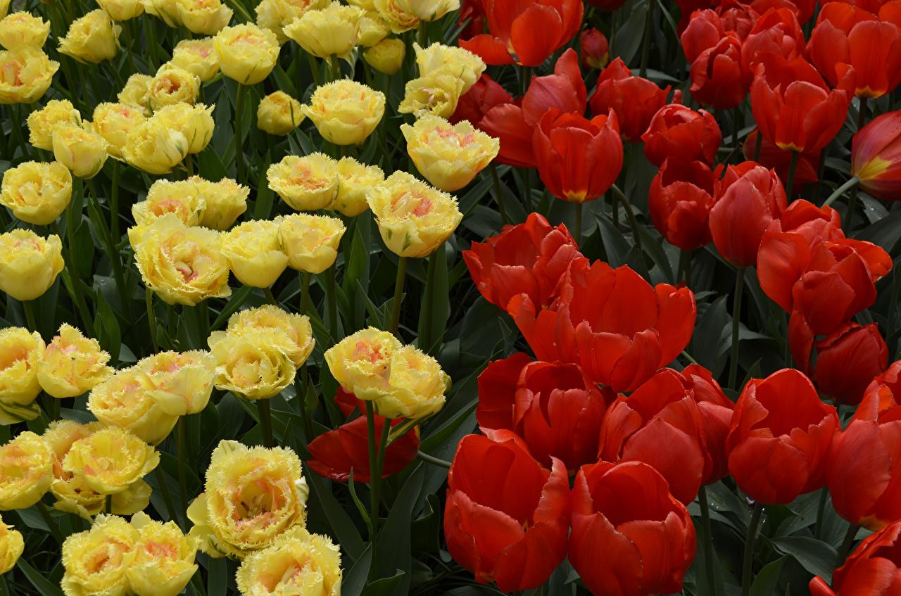 Картинки Тюльпаны Цветы вблизи Крупным планом