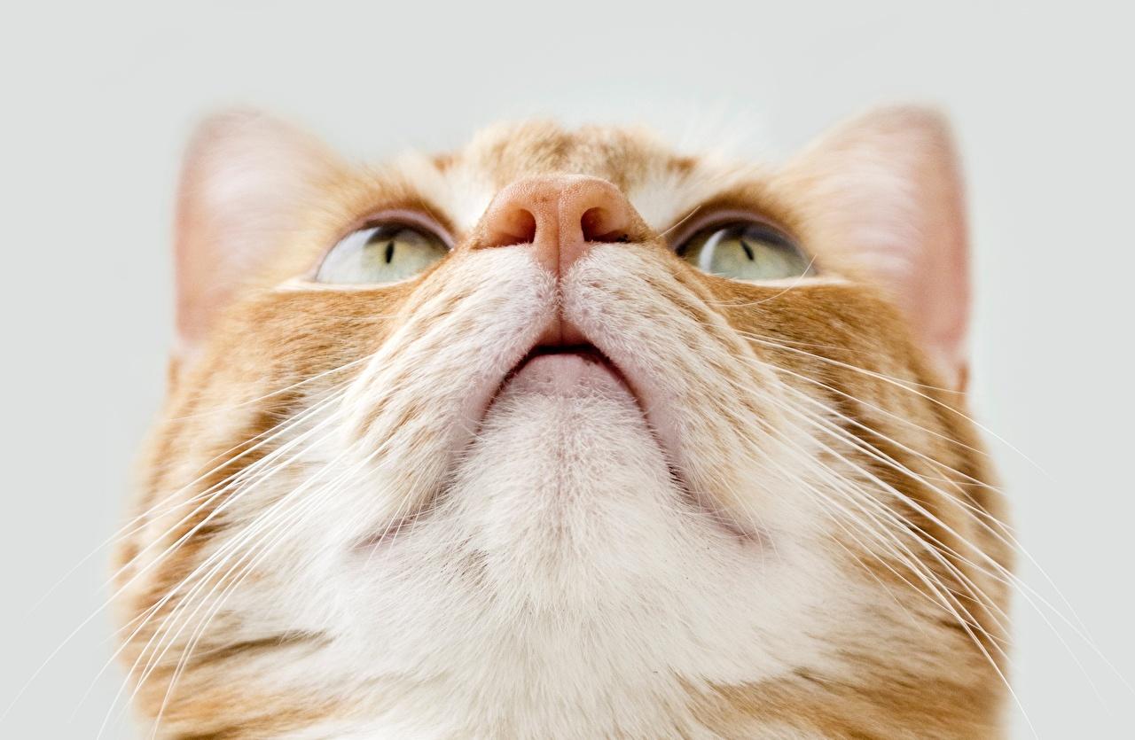Фото Кошки Нос морды смотрят Животные Крупным планом кот коты кошка носа Морда вблизи Взгляд смотрит животное