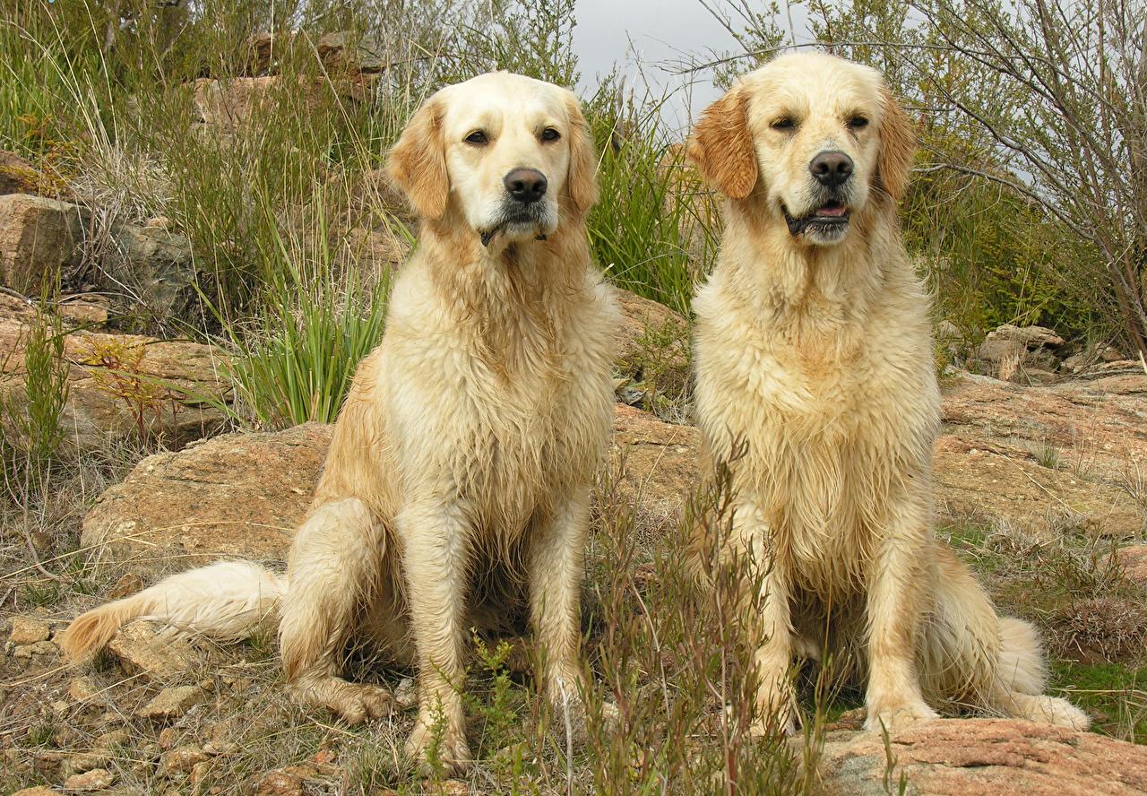Фотографии Голден Собаки Двое Животные Золотистый ретривер 2 вдвоем