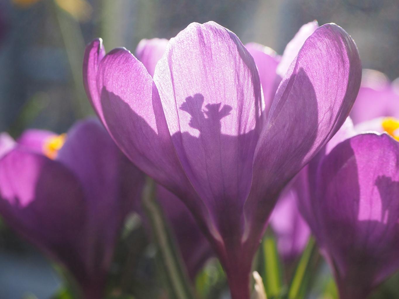 Фотографии фиолетовая цветок Крокусы вблизи Фиолетовый фиолетовые фиолетовых Цветы Шафран Крупным планом