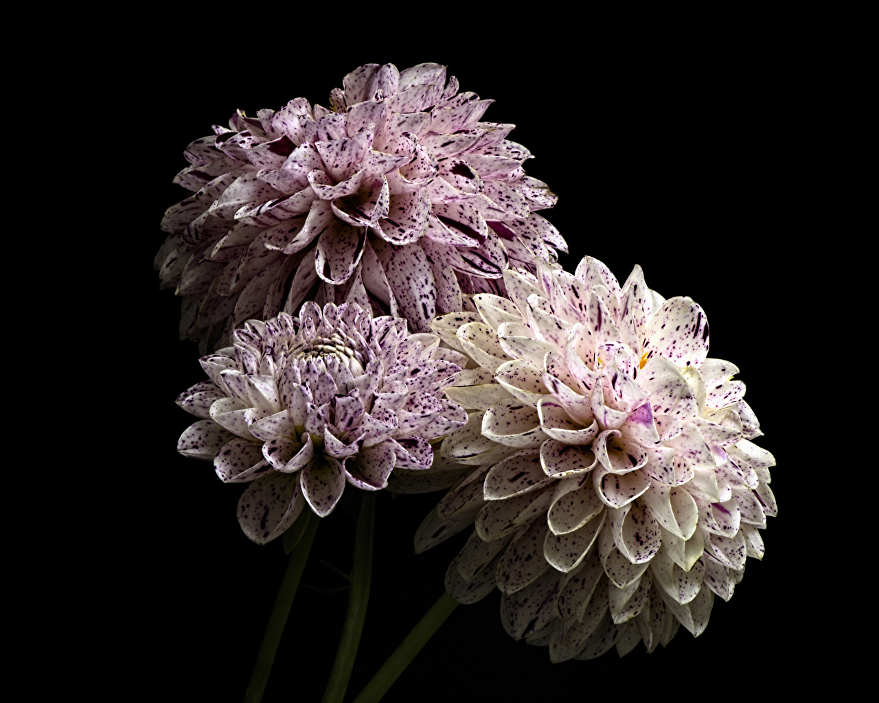 Обои для рабочего стола Цветы Георгины втроем Черный фон Крупным планом цветок три Трое 3 вблизи на черном фоне