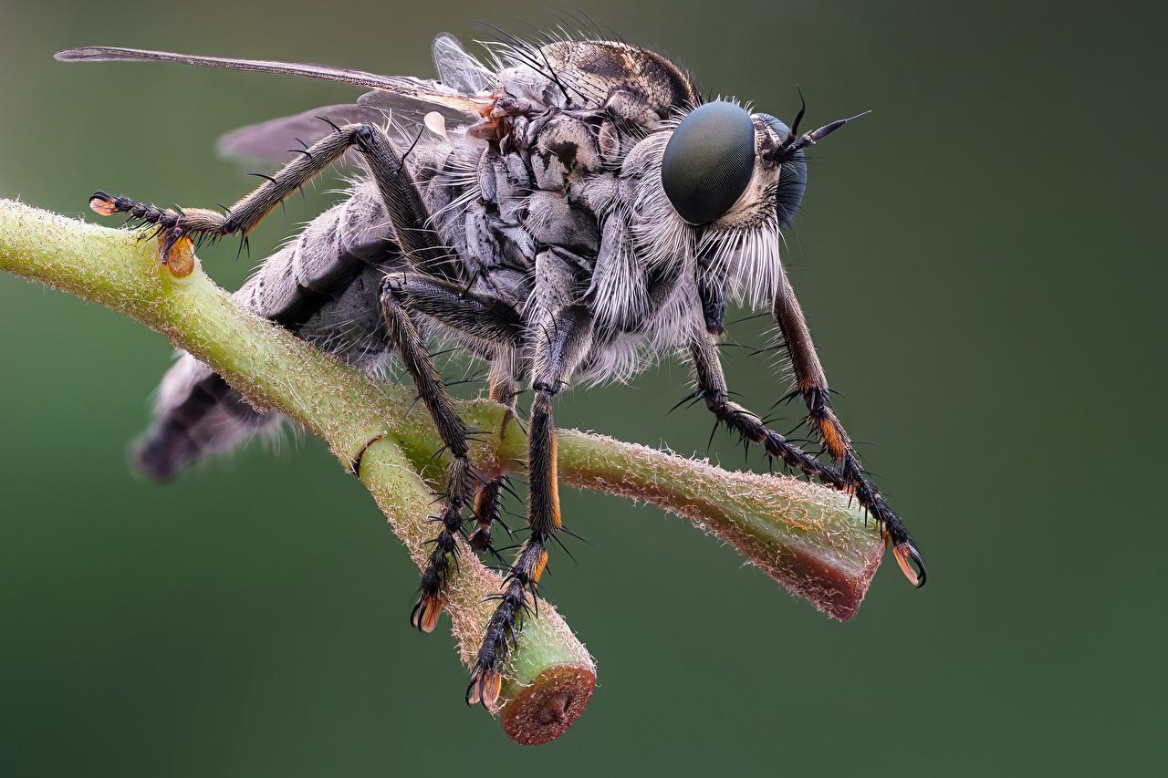 Картинки Мухи Насекомые eutolmus rufibarbis вблизи животное насекомое Животные Крупным планом