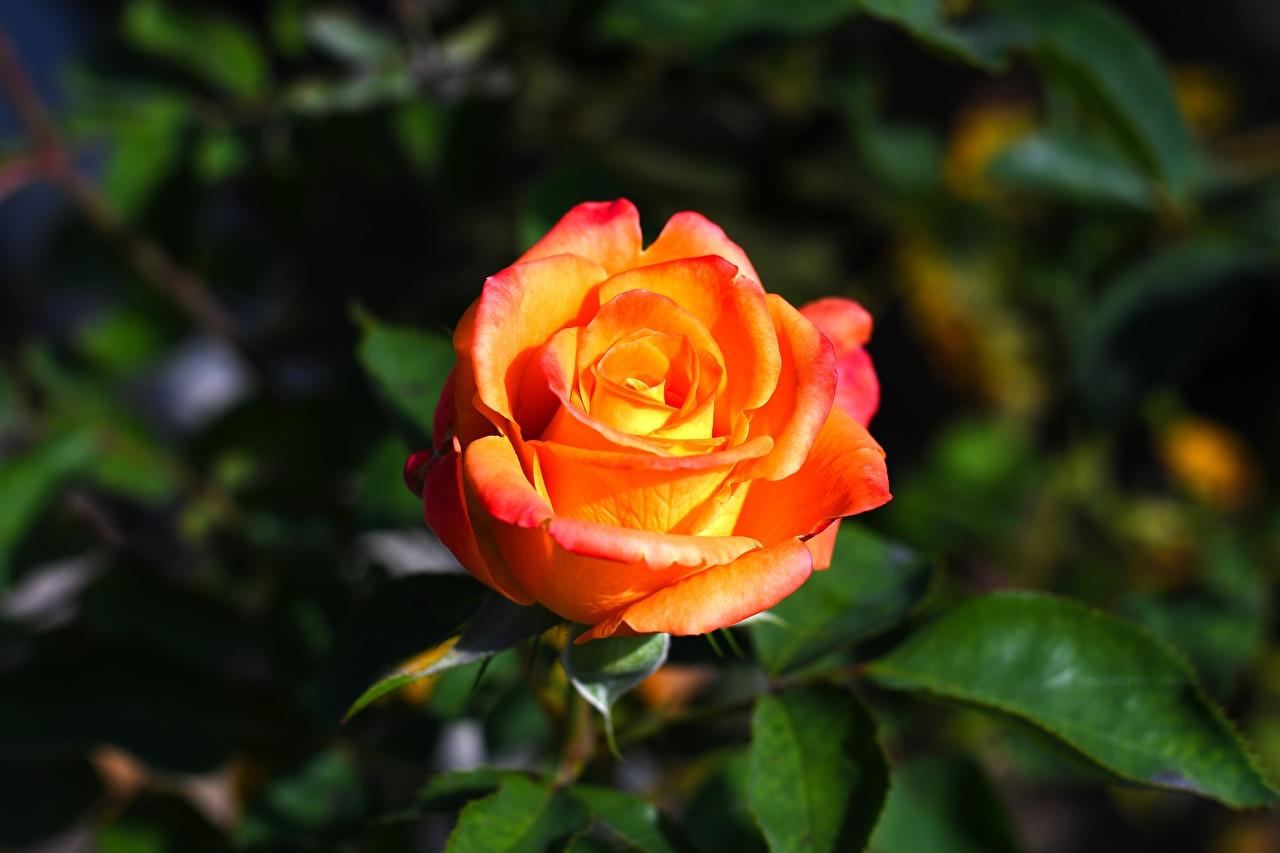 Обои для рабочего стола Розы цветок Крупным планом роза Цветы вблизи