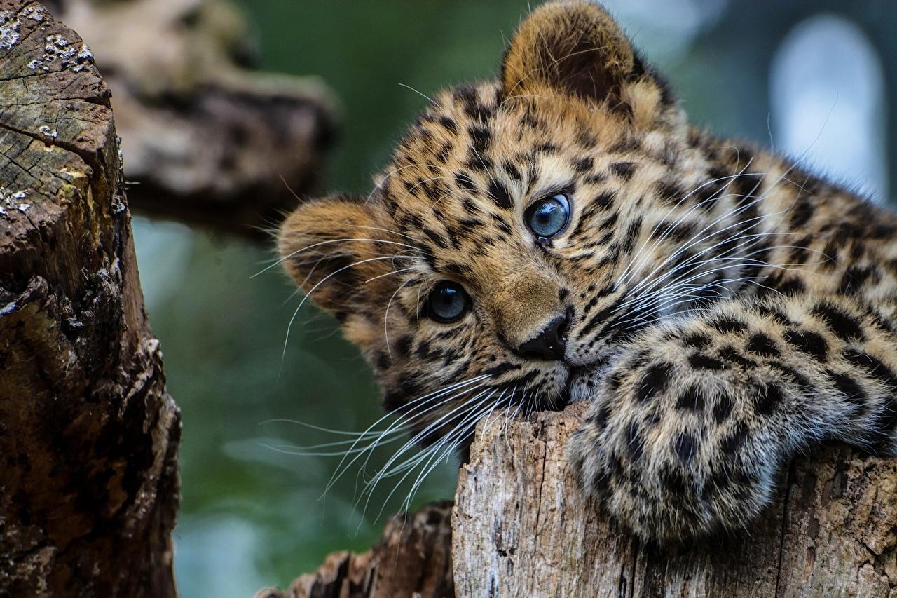 Картинки леопард Большие кошки Детеныши Пень Животные Леопарды пне животное