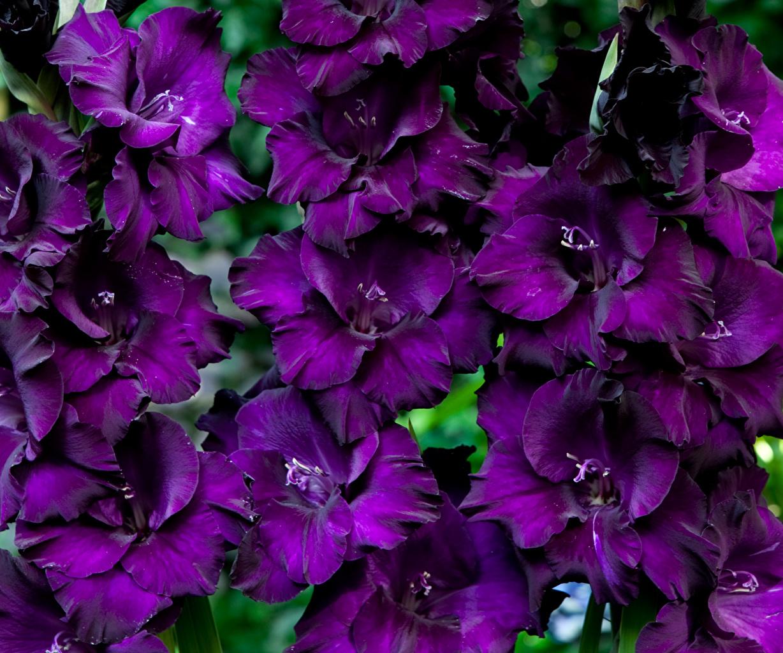 Фотографии Black Velvet Фиолетовый Цветы Львиный зев вблизи фиолетовых фиолетовые фиолетовая цветок Антирринум Крупным планом