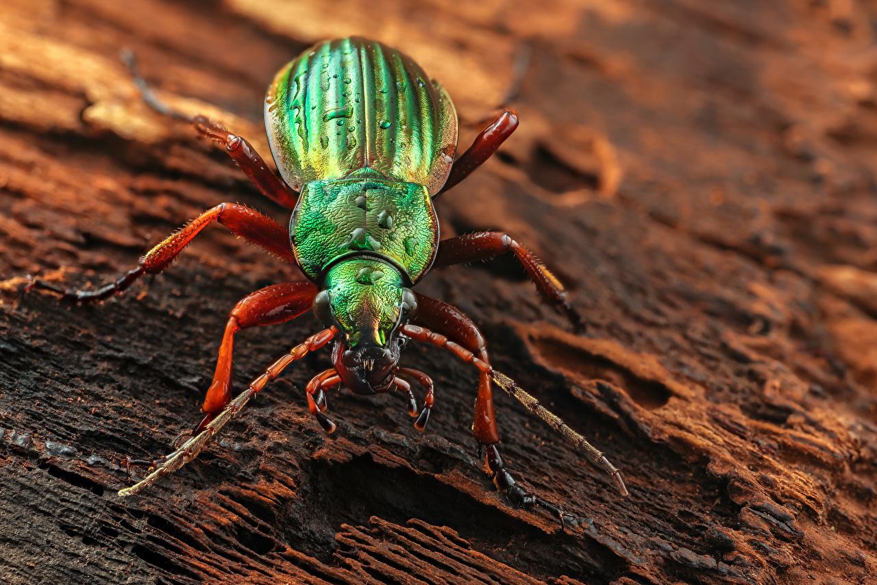 Фотографии Жуки Насекомые golden ground beetle животное Крупным планом насекомое вблизи Животные