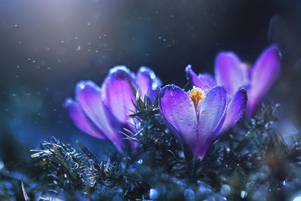 Фото фиолетовые Шафран цветок Крупным планом фиолетовая Фиолетовый фиолетовых Цветы Крокусы вблизи