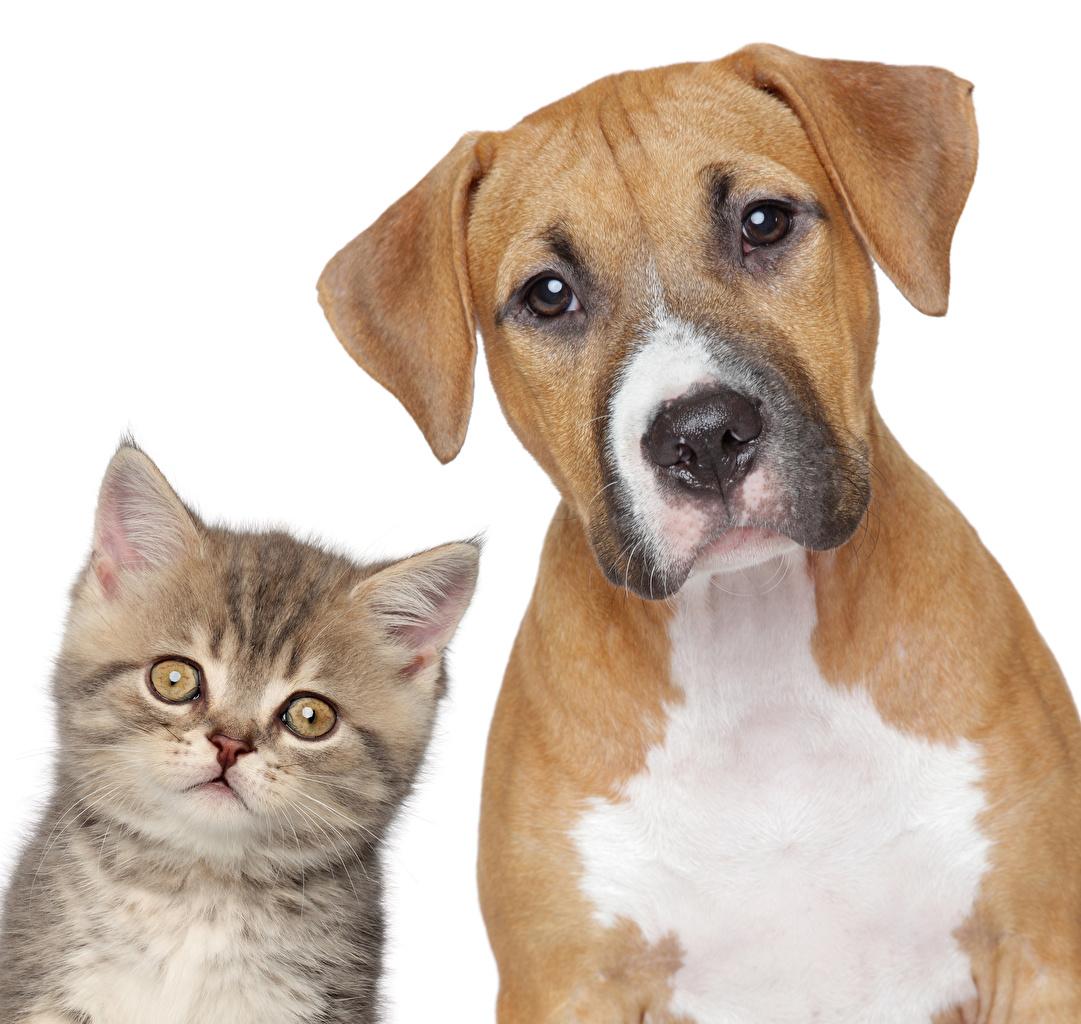 Обои для рабочего стола котенка кот Собаки две Животные Белый фон котят Котята котенок коты кошка Кошки собака 2 два Двое вдвоем животное белом фоне белым фоном