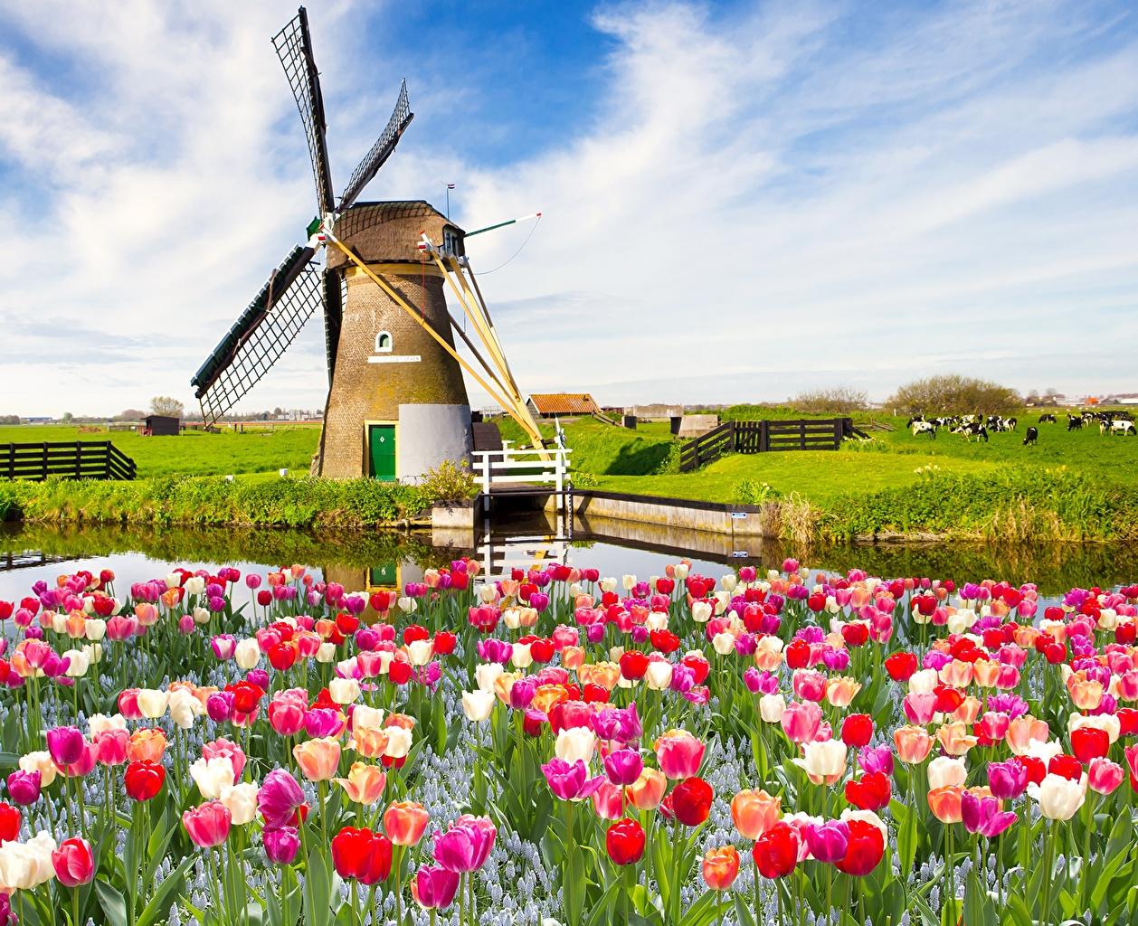 Обои для рабочего стола Мельница Тюльпаны Цветы Много