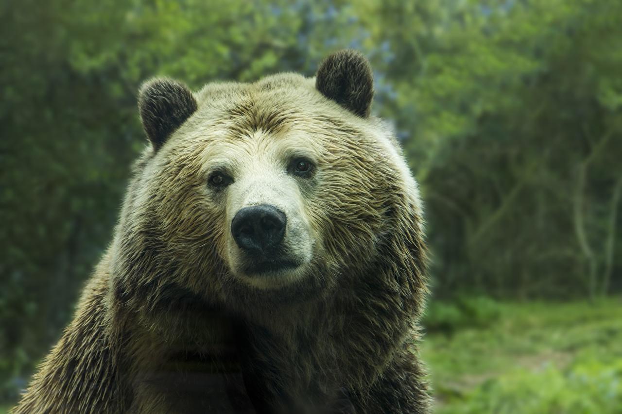 Фотографии Бурые Медведи Медведи Нос Морда Взгляд Животные Гризли смотрит
