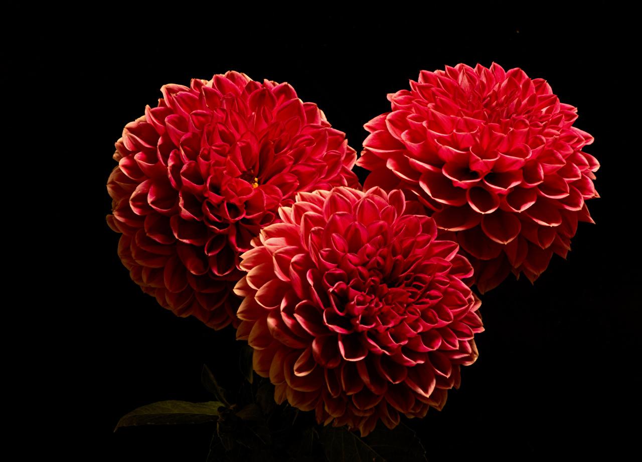 Фото Красный Цветы Георгины втроем вблизи Черный фон красных красные красная цветок три Трое 3 на черном фоне Крупным планом