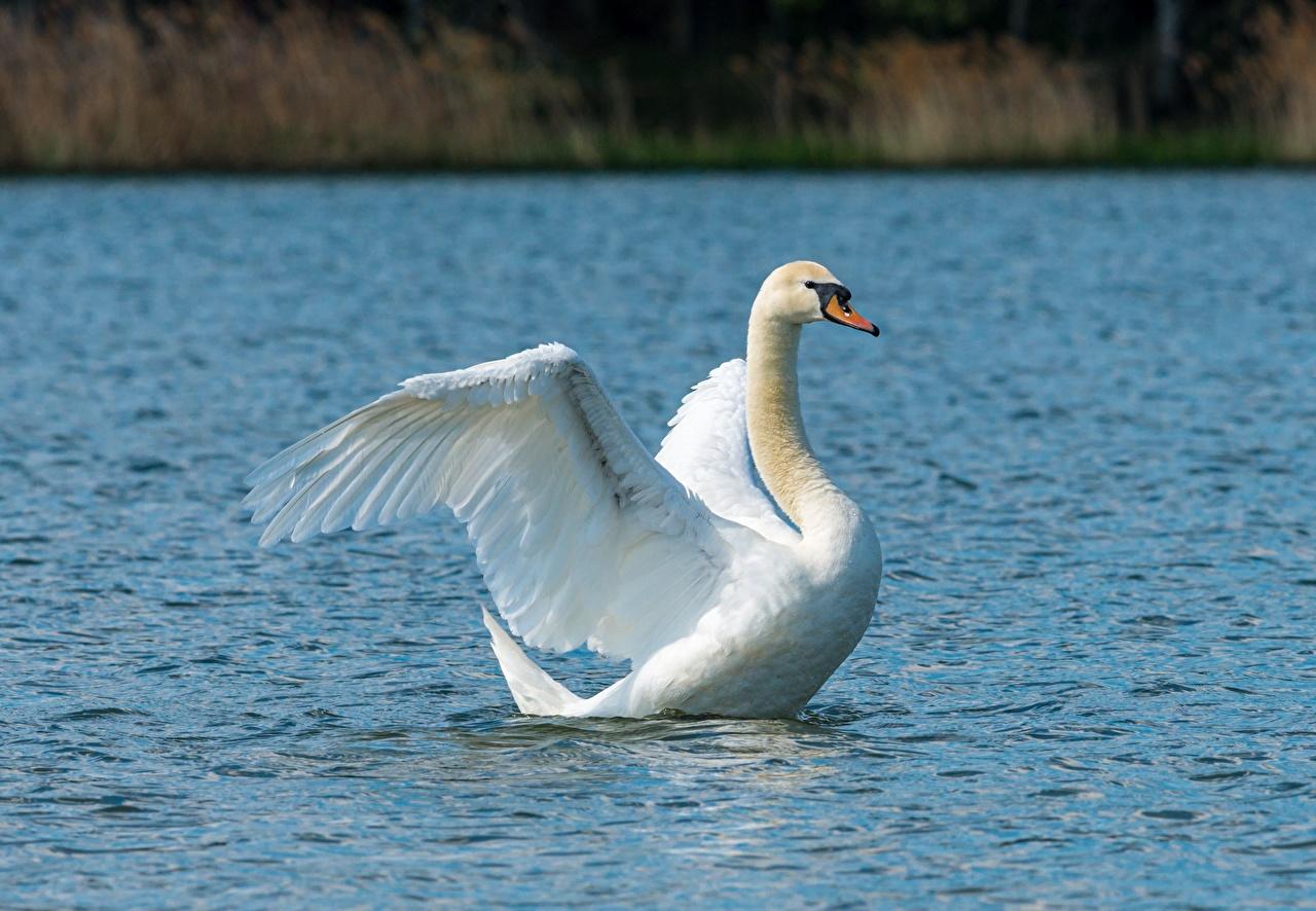 Картинки птица лебедь белая Вода Животные Птицы Лебеди белых белые Белый воде животное