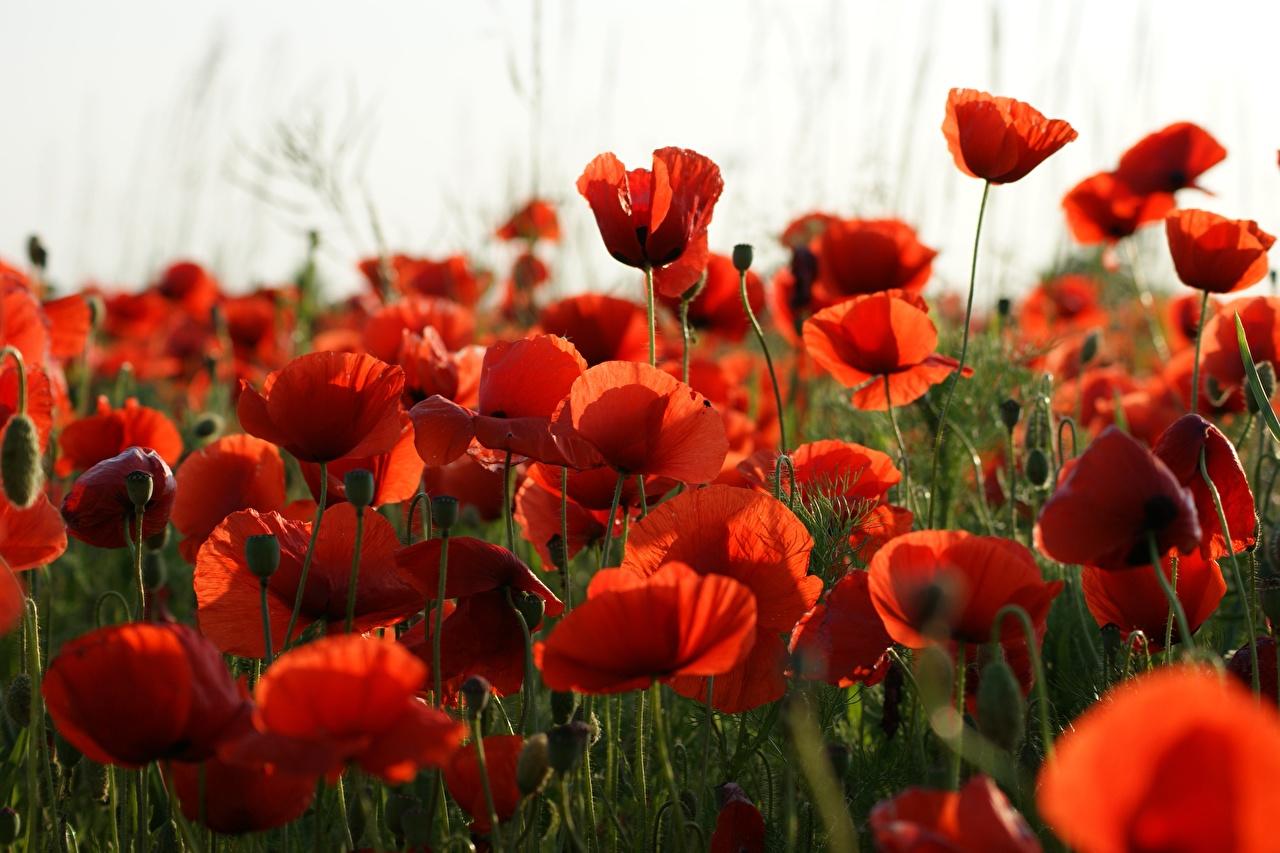 Картинки Красный мак цветок Много красная красные красных Маки Цветы
