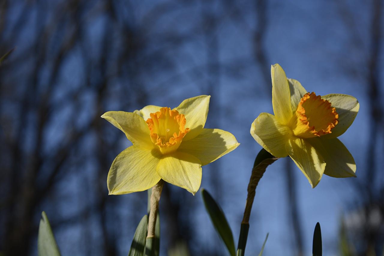 Фото Двое желтая Цветы Нарциссы Крупным планом 2 два две вдвоем Желтый желтые желтых цветок вблизи