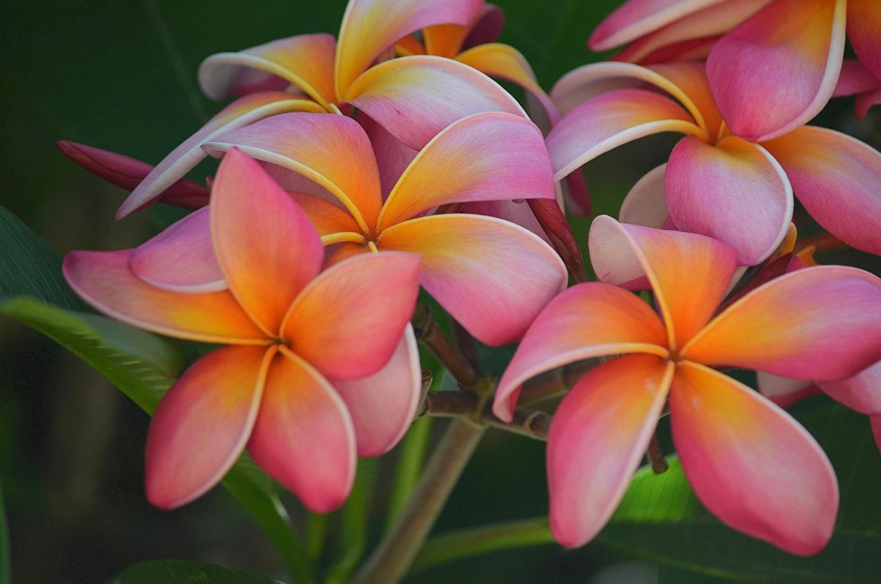 Фотография Цветы Плюмерия Крупным планом цветок вблизи