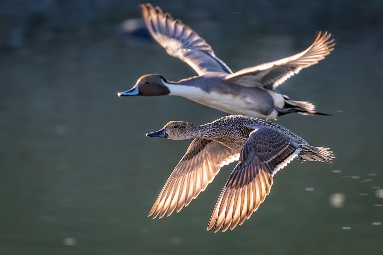 Обои для рабочего стола Утки Птицы два Полет Животные утка птица 2 две Двое вдвоем летят летит летящий животное