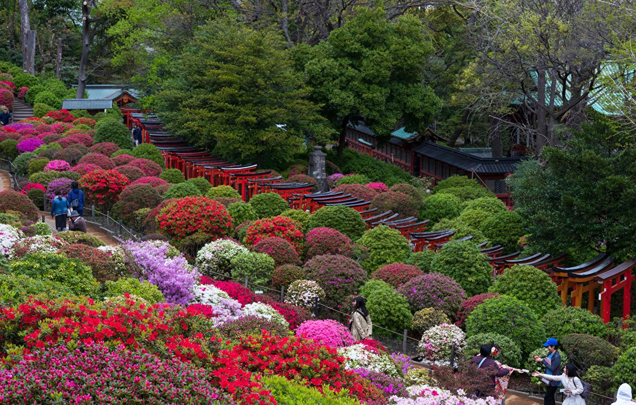 Обои Токио Япония Природа Парки Рододендрон Кусты кустов