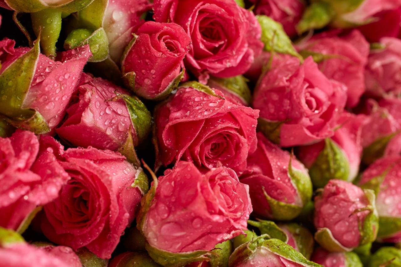 Картинка Розы розовых Цветы капля Крупным планом роза Розовый розовая розовые Капли капель цветок капельки вблизи