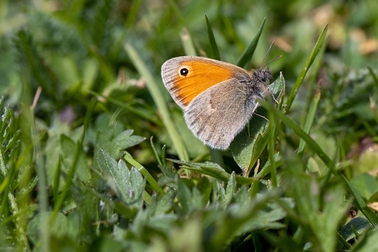 Обои для рабочего стола бабочка насекомое Coenonympha pamphilus Макро Трава вблизи Животные Бабочки Насекомые Макросъёмка траве животное Крупным планом