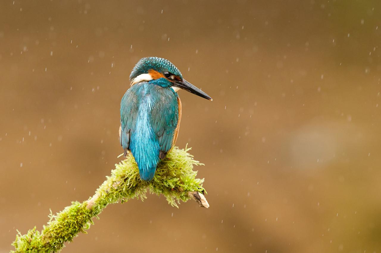 Фотография Обыкновенный зимородок птица Мох ветка животное Птицы мха мхом ветвь Ветки на ветке Животные