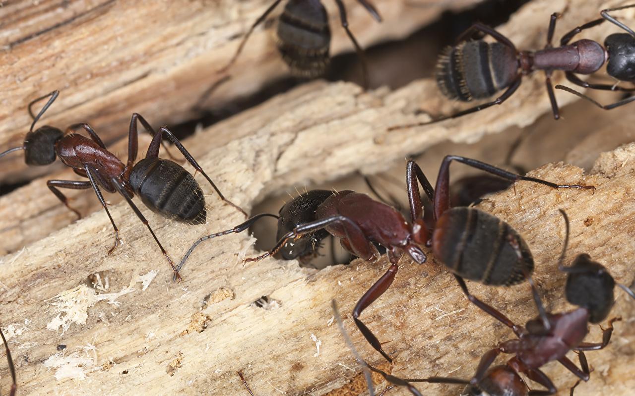 Картинка Муравьи Насекомые Животные Крупным планом насекомое вблизи животное