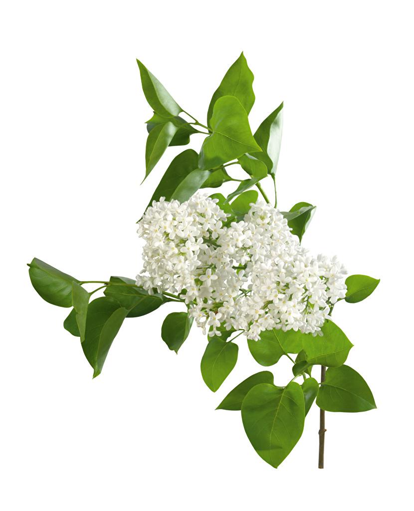 Фото белые Цветы Сирень Ветки Белый фон  для мобильного телефона белая Белый белых цветок ветвь ветка на ветке белом фоне белым фоном