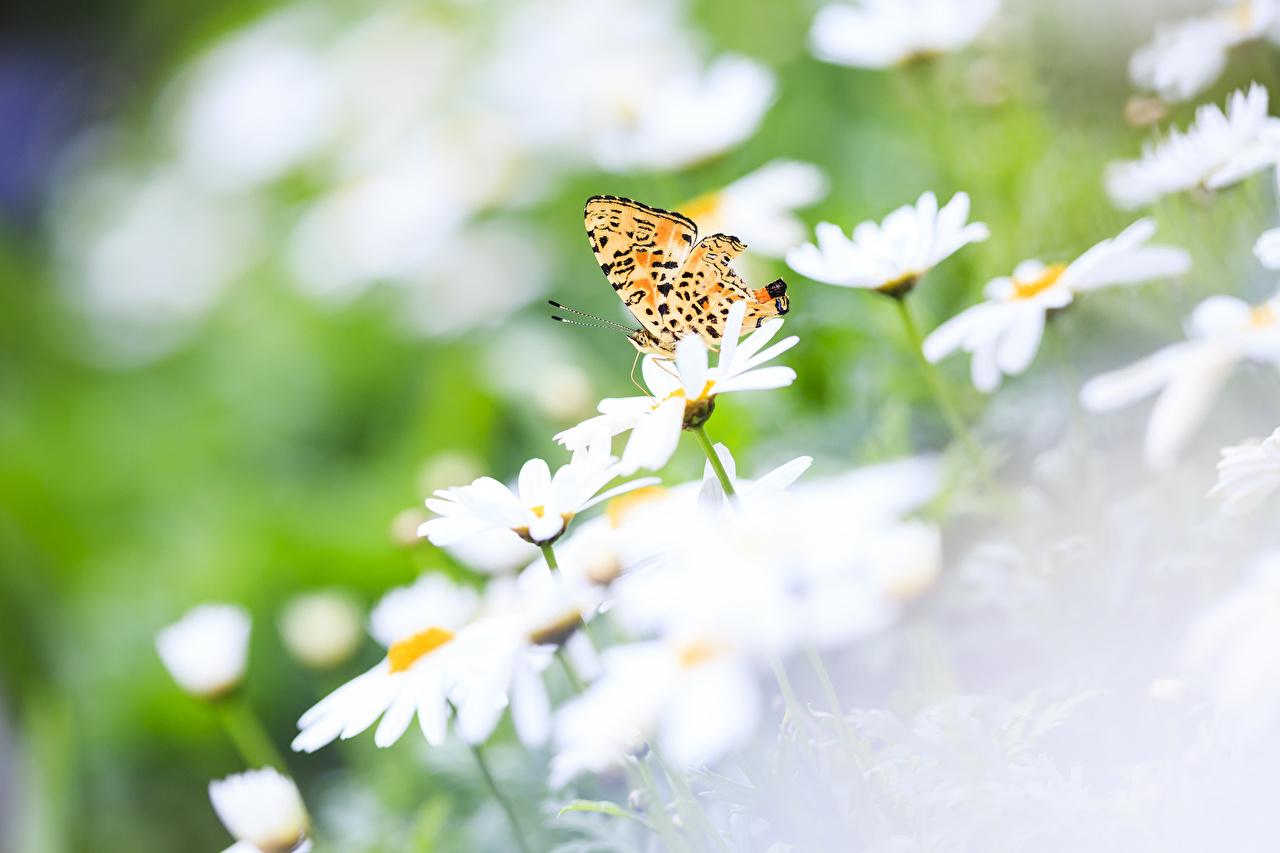 Фотография Бабочки насекомое Цветы ромашка бабочка Насекомые цветок Ромашки