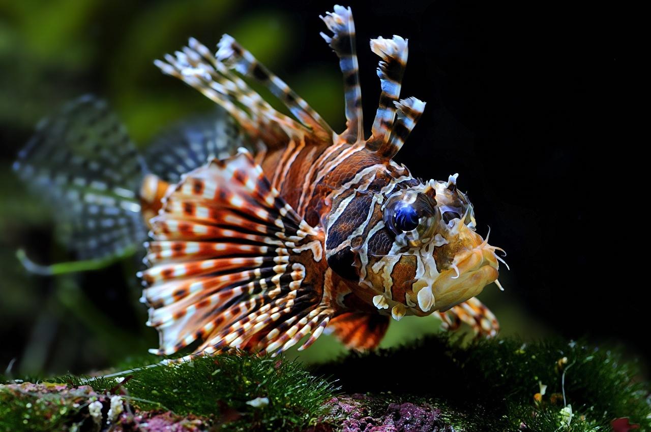 Картинки крылатка Рыбы Подводный мир животное Крылатки Животные