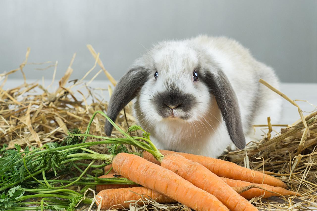 Фотографии Кролики Морковь животное кролик морковка Животные